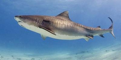 Estudian Tiburones Isla del Coco