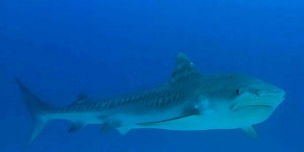 Tiburón Tigre, Isla del Coco