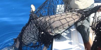 Pesca ilegal en Isla del Coco, Faico