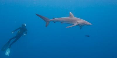 Isla del Coco - tiburón y buzo
