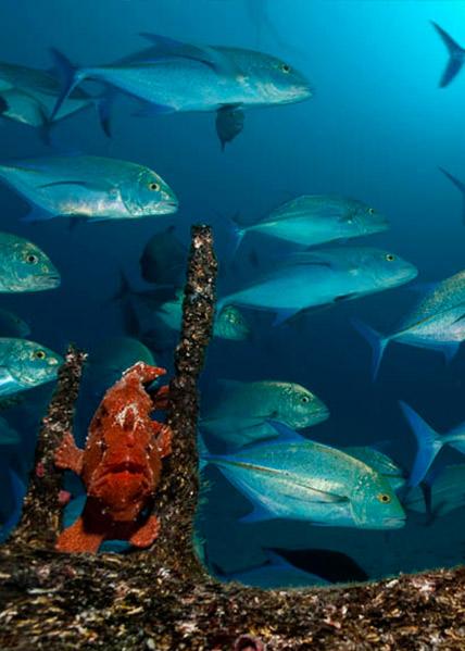 Isla del Coco Frogfish
