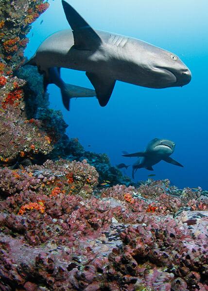 Isla del Coco Tiburones