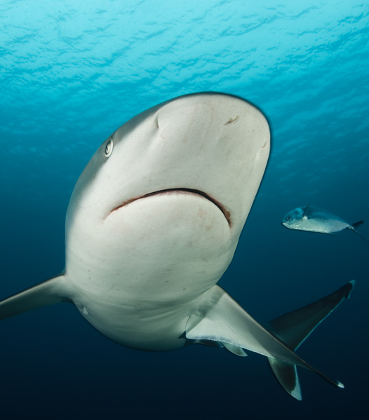 Sharks of the Cocos Island National Park