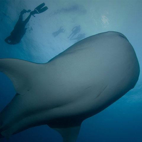 Isla del Coco tiburón y buzo FAICO