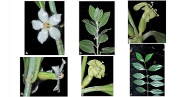 Nueva especie de planta en Isla del Coco