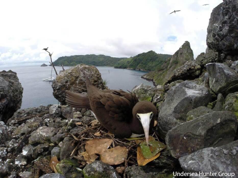 Aves de la Isla del Coco, piquero moreno