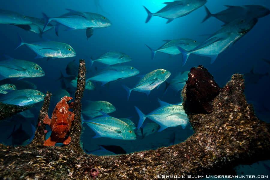 Peces de la Isla del Coco - frogfish y jack bloom