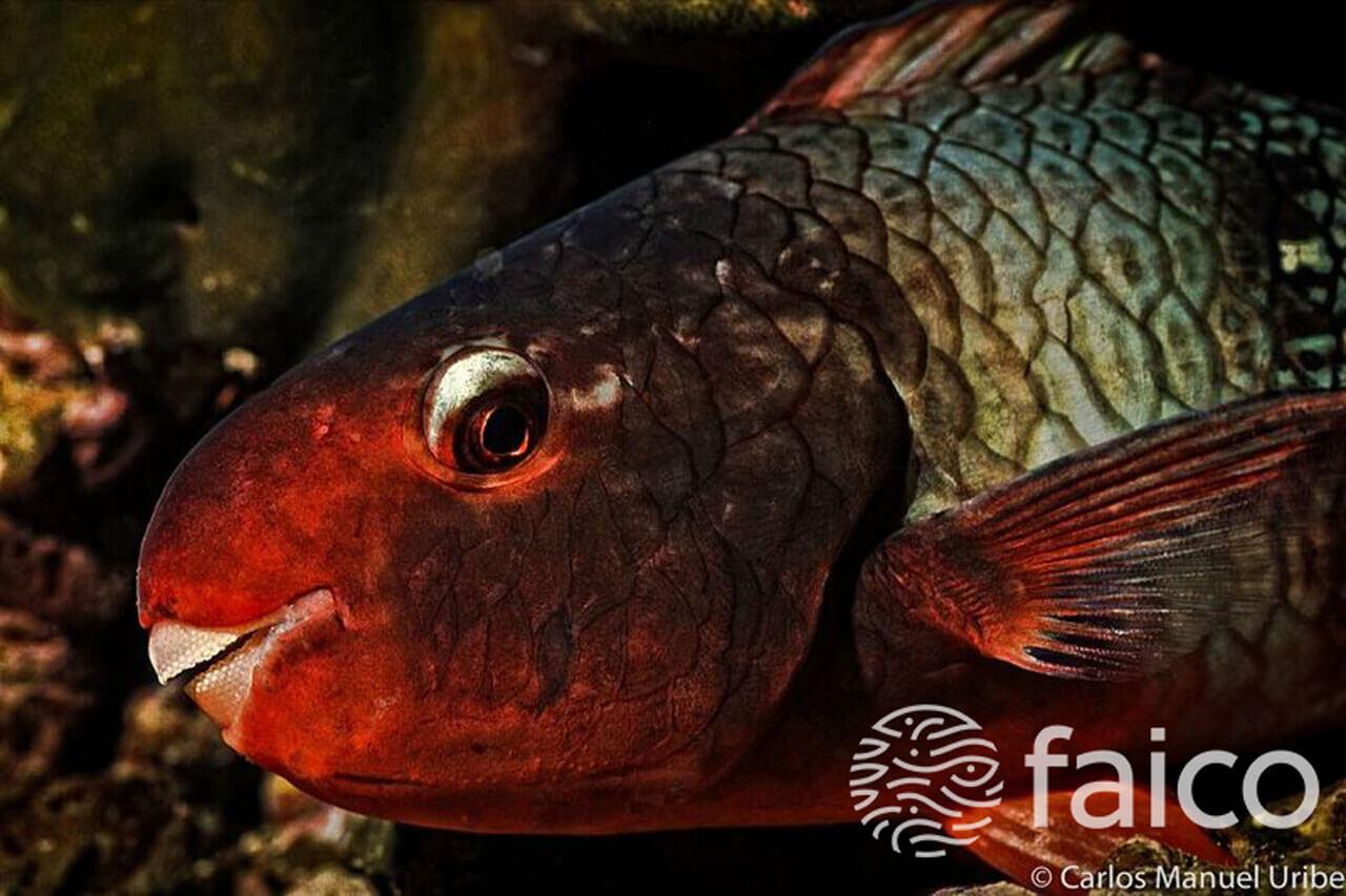 Peces de la Isla del Coco - Pez loro