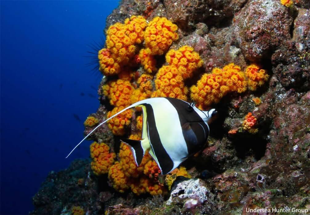 Peces de la Isla del Coco - idolo moro zanchus