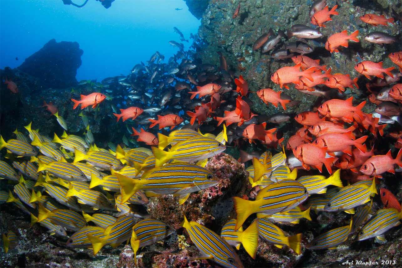 Peces de la Isla del Coco - soldado azotado myripristis barndti