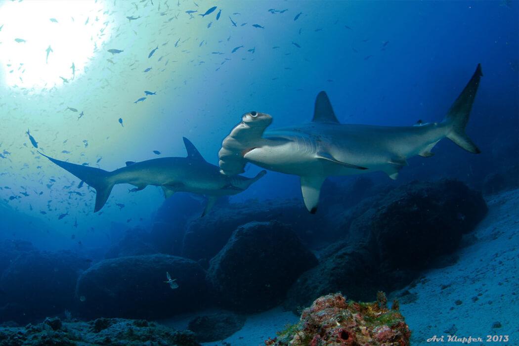 Tiburones de la Isla del Coco