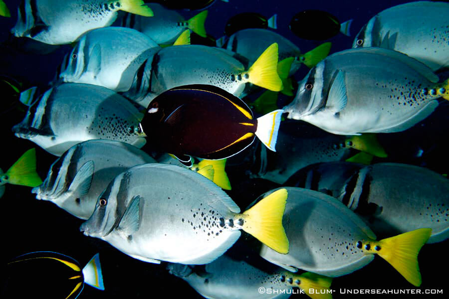 Peces de la Isla del Coco - yellowtail surgeonfish shmulik bloom