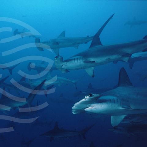 Faico - Amigos Isla del Coco, tiburones