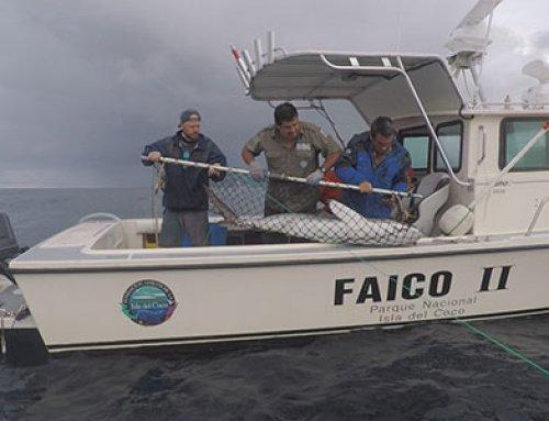Estudio revela que tiburones de la Isla del Coco recorren hasta 2.000 km en aguas de la región