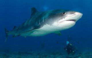 Tiburón tigre de Isla del Coco también vive en golfo Dulce