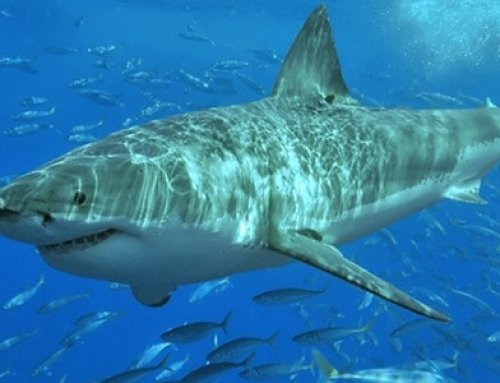 Investigarán comportamiento de tiburones del Parque Nacional Isla del Coco