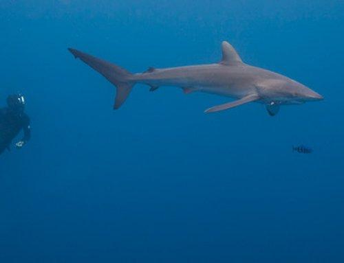 Tiburones de la Isla del Coco serán seguidos por GPS para analizar su migración