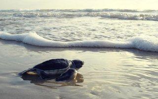 Conservación de la tortuga lora